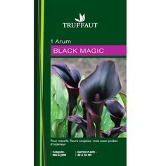 Arum 'Black Magic' : calibre 14/16 sachet 1 bulbe