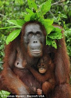 female Borneo Orangutan with her baby with leaves over their heads to shelter themselves from the rain in Camp Leakey, Tanjung Puting Nation...