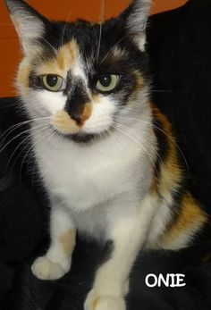 ADOPTED!  Tag# 7136  Name is Onie  Calico  Female-not spayed  Very friendly and affectionate!   Located at 2396 W Genesee Street, Lapeer, Mi. For more information, please call 810-667-0236.  https://www.facebook.com/267166810020812/photos/a.796162490454572.1073742127.267166810020812/796163473787807/?type=3&theater
