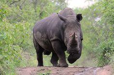 female black rhino - Google Search