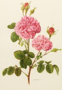 1960s Damask Rose Flower Print, Vintage Botanical Illustration