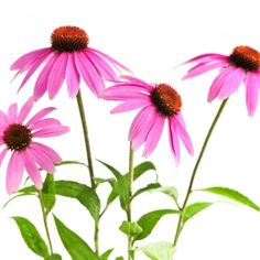 Echinacea  Classified as an herb, this plant contains healing properties in the leaves, flowers and roots! Talk about an all purpose plant! With several different species, echinacea is most commonly used to fight colds and infections, especially lung infections. Some use it as a preventative measure to ward off a threatening cold and some use it after cold symptoms have begun.