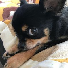#犬 #愛犬#dog #ロングコートチワワ#チワワ#ぶぅちゃん