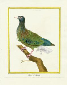 Vintage Bird Illustration, Photo Illustration, Illustrations, Pigeon, Bird Artists, Vintage Birds, Natural History, Hand Coloring, Art History