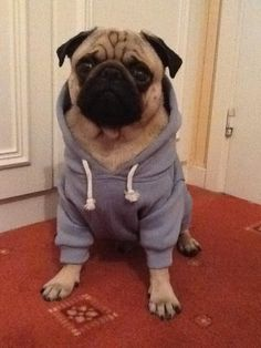 Here is my 10 month old Pug called Milo posing for a photo in his new jumper! submitted by Jessica