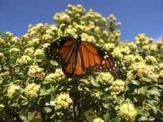 How to plant milkweed for monarch butterflies (for next year)