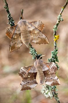 The Poplar Hawk-moths - Laothoe populi by Lukas Jonaitis on 500px