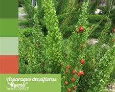 "Aspargo pluma Asparagus densiflorus ""myersii"" Pantone 7488 CP"