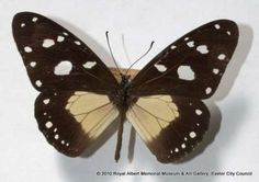 This butterfly was collected in Africa in May 1919. It is part of Mr Symington's collection which was donated to the Museum in 1942 by his sister.