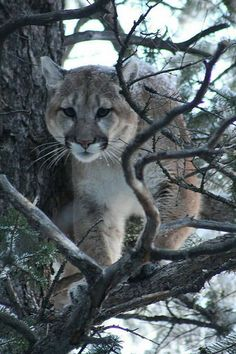 (file photo provided by Colorado Division of Wildlife) Beautiful Cats, Animals Beautiful, Baby Animals, Cute Animals, Water For Elephants, Power Animal, Mountain Lion, Leopards, Big Cats