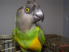 Perroquet ! Il brise la cage et il devient furieux ! Regardez