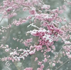 Winter Fine Art Photography Set of Pink Plum Blossoms in Snow Save 30% by purchasing the set All four images from my Snow Blossoms Series: Yuki Ga Furu Softly, Coldly Snowflakes Pink Snow (clockwise from top left) Scenes from a late winter snow storm which blanketed the newly