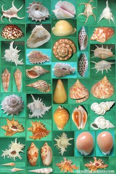 """It's perhaps a more fortunate destiny to have a taste for collecting shells than to be born a millionaire"". Seashell Painting, Seashell Art, Seashell Crafts, Beach Crafts, Lord Vishnu Wallpapers, Shell Ornaments, Shell Collection, Marine Life, Sea Creatures"