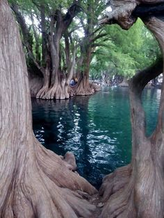 Lac de Camecuaro, Mexique - Travel tips - Travel tour - travel ideas Places To Travel, Places To See, Wonderful Places, Beautiful Places, Weird Trees, Unique Trees, Nature Pictures, Amazing Nature, Belle Photo