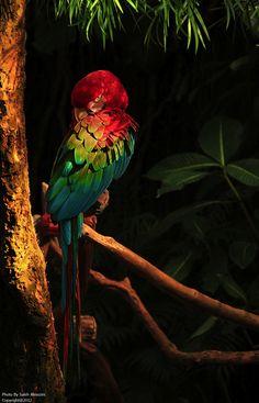 kingdom-of-animals: Parrot by Slaeh Almozini.