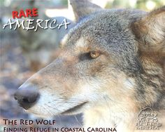 Watch for this documentary in the spring of 2015 by red wolf friend Scott McDaniel!