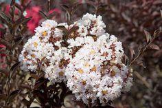 Tree - Crape Myrtle - Lagerstroemia 'Delta Moonlight',  White Crape Myrtle, Dark foliage