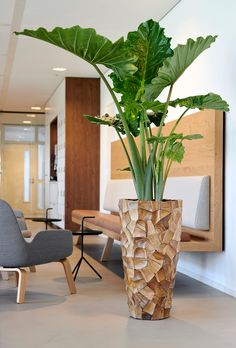 beautiful elephant ear plant and nice pot . Mention you. - beautiful elephant ear plant and nice pot . Mention you… beautiful elephant ear plant and nice pot . Mention you… Planta Alocasia, Alocasia Plant, Elephant Ear Plant, Elephant Ears, Indoor Trees, Decoration Plante, Inside Plants, House Plants Decor, Interior Plants