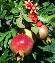 sweet pomegranate tree  drought tolerant, grows to around 12' tall, produces nice fruit, likes sun