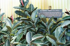 Rubber Tree Rubber trees are good for cleaning the air and are one of the easiest plants to grow, as they thrive even in dim lighting and cooler climates. The low-maintenance plant is a powerful toxin eliminator and air purifier. Rubber Plant, Rubber Tree, Tropical House Plants, Tropical Houses, Best Indoor Plants, Indoor Garden, Easy Plants To Grow, Air Photo, Ivy Plants