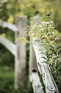 Love the hard weathered wood against the soft, feathery weeds....