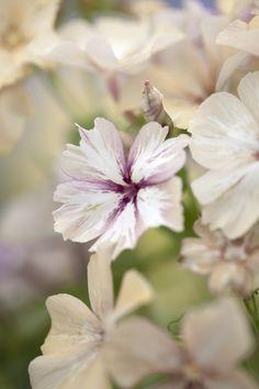 Phlox drummondii grandiflora, 'Crème Brûlée' Seeds from Chiltern Seeds Cut Flowers, Colorful Flowers, Purple Flowers, White Flowers, Planting Seeds, Planting Flowers, Beautiful Gardens, Beautiful Flowers, Fruit Seeds