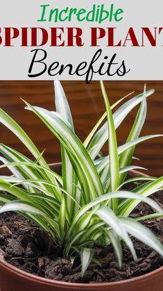 Full Sun Plants, Water Plants, Hanging Plants, Indoor Plants, Spider Plant Benefits, House Plant Delivery, Inside Plants, Plant Guide, House Plant Care