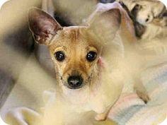 Chihuahua Mix Dog for adoption in Mesa, Arizona - A3546561Maricopa County Animal Care & Control East Valley,Mesa AZ