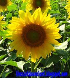 khasiat bunga matahari yang sangat bagus untuk kesehatan