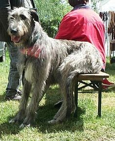 irish wolf hound- they actually sit on furniture like this. have to hang my pic 2 ft above the back of my couch just so they dont come down everyday