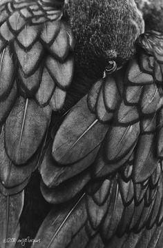 Crow/Raven - Feather pattern - gotta love this! Half Elf, Kubo And The Two Strings, Yennefer Of Vengerberg, Quoth The Raven, Raven Art, Six Of Crows, Crows Ravens, Illustration, Tier Fotos
