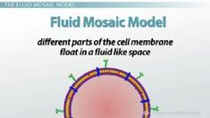 The Fluid Mosaic Model of the Cell Membrane, active & passive transport, endocytosis & exocytosis, Cell Biology, Ap Biology, Teaching Biology, Science Biology, Life Science, Teaching Resources, Biology Projects, Biology Lessons, Plasma Membrane