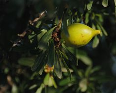 The argan tree provides a popular oil used in a variety of ways. Argan Oil, Morocco, Pear, Fruit, Bulb