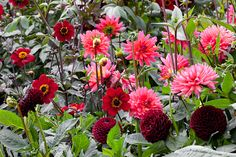Dahlia 'Karma Fuchiana' with D. 'Bishop of Auckland' and D. 'Jowey Mirella'