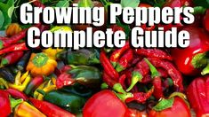 How to Grow Peppers from Seed to Harvest // Complete Guide with Digital Table of Contents - Modern Growing Tomatoes From Seed, Growing Peppers, Growing Seeds, Grow Tomatoes, Cherry Tomatoes, Tomato Garden, Tomato Plants, When To Plant Seeds, Veggie Gardens