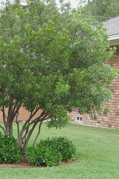 Big Garden Design Wax Myrtle,are ideal for use as natural hedges or privacy screens. Lower branches can be removed to form very attractive small trees. Highly adaptable to moist or dry soils and full sun or part shade. Tall Plants, Large Plants, Landscape Design, Garden Design, Myrtle Tree, Privacy Trees, Plants For Sale Online, Big Garden, Shade Trees