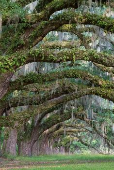 Grandfather live oaks