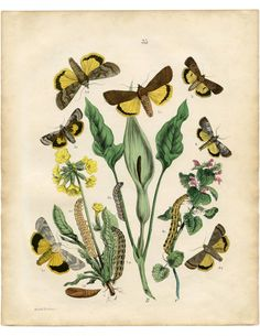 Free Fall Printable Moths - Fabulous! High resolution Natural History Print. Great for some instant Fall wall decor!