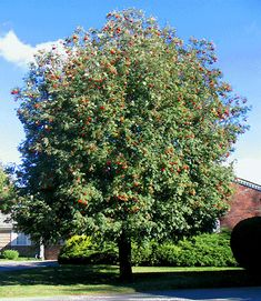 Mountain Ash Tree Pictures contains many pictures of mountain ash trees & facts about the mountain ash tree type, we have many beautiful mountain ash tree images Ash Tree Pictures, Tree Images, Mountain Ash Tree, Green Mountain, Kahlil Gibran, Garden Landscape Design, Garden Landscaping, Landscaping Ideas, Street Trees