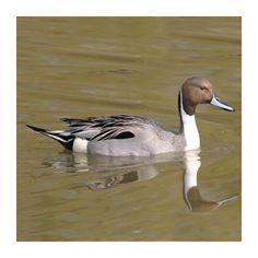Aquatic Birds, Bird Sketch, Magpie, Pet Birds, Hunting, Swans, Pets, Ducks, Animals