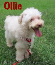 Ollie Poodle Mix • Senior • Male • Small In The Arms of Angels Tucson, AZ