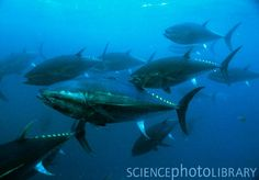 I want to go Tuna Fishing Tuna Fishing, Deep Sea Fishing, Salt And Water, Ocean Life, Whale, To Go, School, Fun, Outdoor