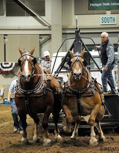 Belgian Draft Horse Pull. Look at those broad shoulders. AND.... it's at MSU <3 omg they look like theyre on steroids! Big Horses, Work Horses, All About Horses, Belgian Horse, All The Pretty Horses, Beautiful Horses, Animals Beautiful, Clydesdale Horses, Draft Horses