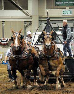 Belgian Horses Pulling love pulling horses