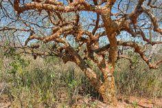 Árvore de umburana, planta da Caatinga que pode ser usada no combate ao mosquito Aedes aegypti | Divulgação/Embrapa