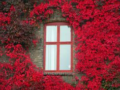 sunsurfer:    Red Ivy, Oslo, Norway   photo by elysea