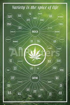Cannabis- Variety Is The Spice Of Life Poster 24 x Cannabis Variety Is The Spice of Life Marijuana Chart Poster Cannabis Plant, Cannabis Oil, Thc Oil, Weed Types, Cannabis Cultivation, Ganja, Marijuana Facts, Medical Marijuana, Herbs