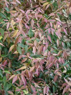Syzygium luehmannii Royal Flame Lily Garden, Plant Information, Garden Plants, Exotic, Tropical, Backyard, Trippy, Garden Ideas, Trees