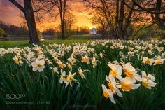 golden sunset in the park - INSTAGRAM :: FACEBOOK This photo was already taken some days before Easter when all the flowers in the park and meadows began to bloom. I've enjoyed and photographed a beautiful sunset in the park in my hometown Kassel in Germany.