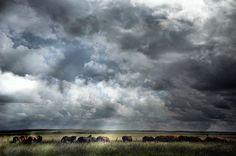 Wild Horses Grazing at Pitchfork Ranch in the Texas summer with a thunderstorm cloud overhead